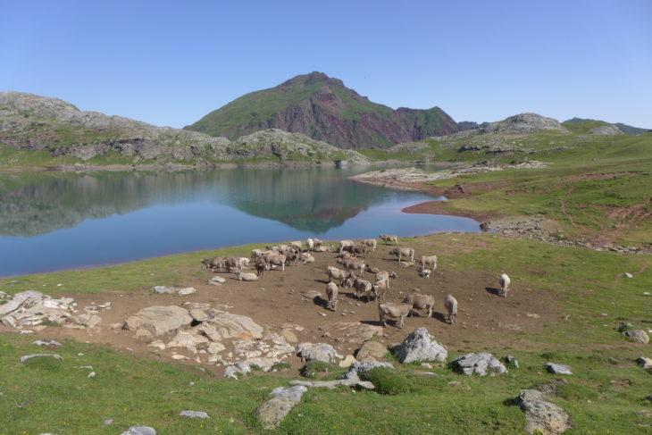 El ganado puede contaminar el agua que pensábamos beber